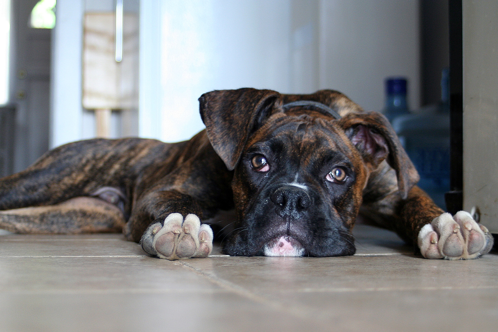 Boxer dogs a guide to boxer dogs boxer dog photos for Brindle boxer